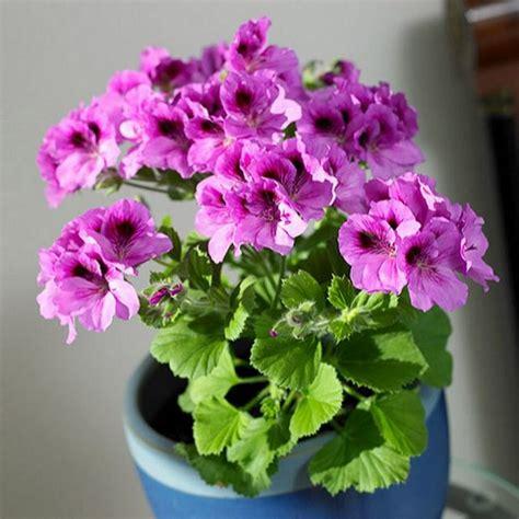 best scented geranium indoors how to grow geranium indoors year balcony garden web