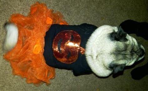 pug pals boise pumpkin skirt set baxterboo