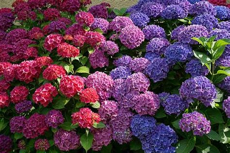 how to change the color of hydrangea flowers page 2 of 2