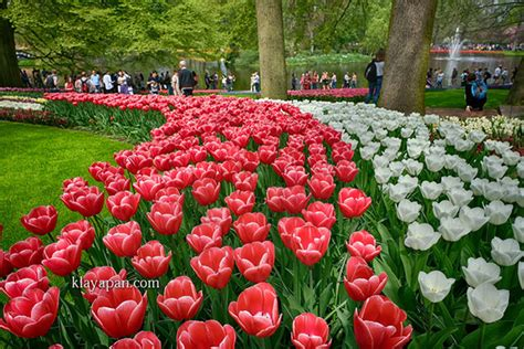 bagai bunga bermekaran taman bunga keukenhof wisata tulip terbesar di negeri