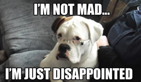 Disappointed Dog Meme - funny boxer dog memes dog breeds picture