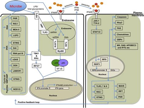 frontiers regulation of interferon gamma frontiers of type i interferons in inflammasome