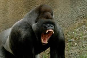 Eastern Lowland Gorilla   Wildlife   The Wildlife
