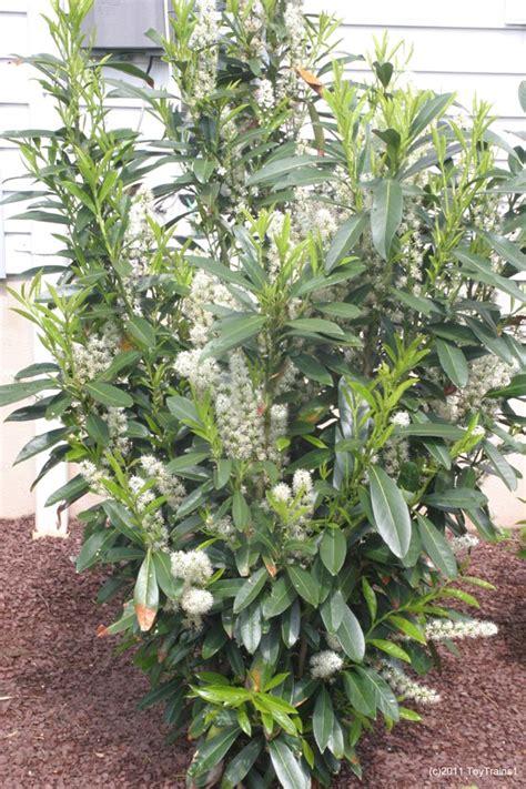 Skip Laurel Plant Skip Laurel Hedge Images