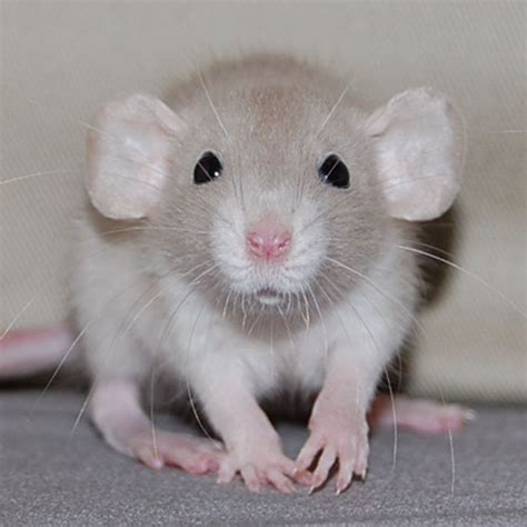 best bedding for rats 70 best images about rats cute on pinterest hamster