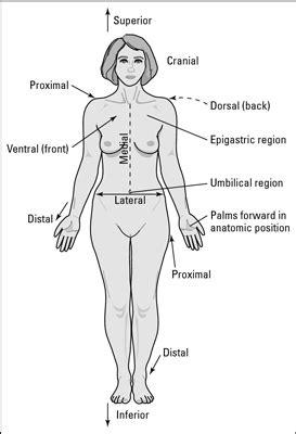 Anatomic Positions - dummies