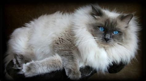 seal blue color seal blue colourpoint le chat cat