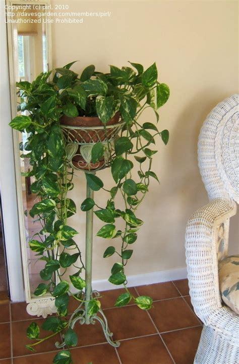 indoor vine plant plantfiles pictures s golden pothos centipede vine epipremnum aureum by pirl