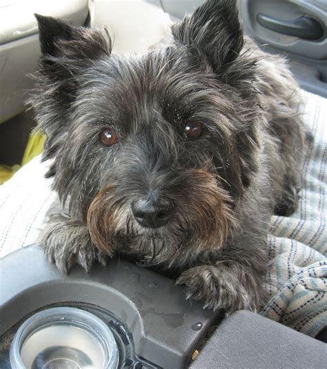do cairn terriers get their hair cut or shaved the fabric of sweet repose march 2012