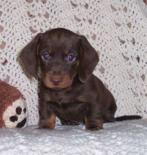 dachshund puppies okc miniature dachshund for sale okc dogs our friends photo