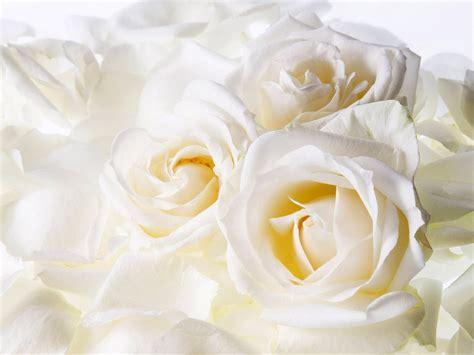 wallpaper flower white rose love animals zoo park red rose wallpapers white rose