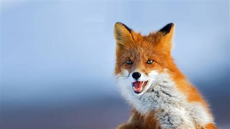 best fox pictures fox animal wallpapers 48 widescreen hd wallpapers of fox animal