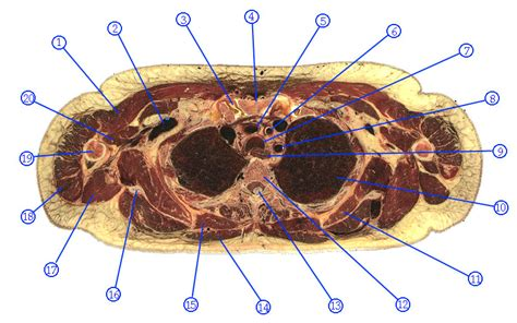 thorax cross section thorax cross section