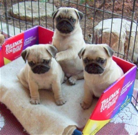 pug puppies for sale 100 dollars puppies for sale 100 dollars in ut for sale united states 1