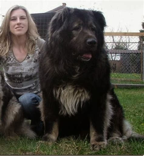biggest dog house ever largest dog breed ever dog pet photos gallery 0n72am02z5