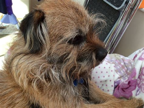 border terrier puppies for adoption border terrier rescue dogs picture and images