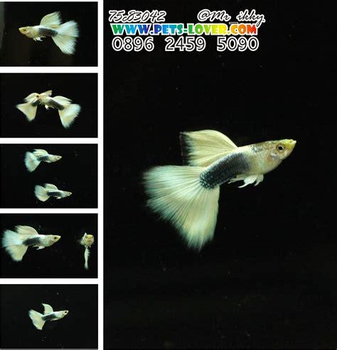 Ikan Guppy Black Moscow Black Betina jual guppy murah lengkap strain dijamin murni siap kirim seluruh indonesia hewan