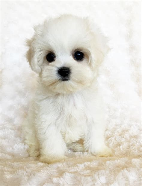 marshmallow puppy teacup maltipoo puppy for sale quot marshmallow quot iheartteacups