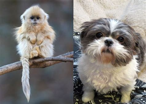how do you spell shih tzu new year the year of the monkey dogbuddy