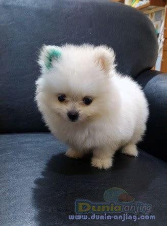 Jual Jual Minipom Jantan Kaskus dunia anjing jual anjing pomeranian minipom putih jantan