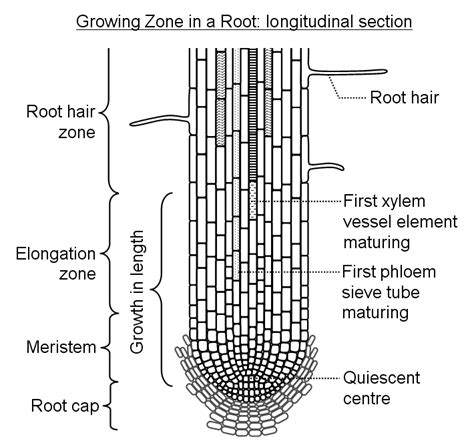 diagram of root tip plant growth