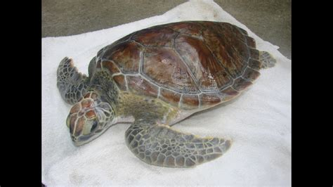 Detox Volusia County by Sea Turtle To Be Released Back Into Sea After Rehab