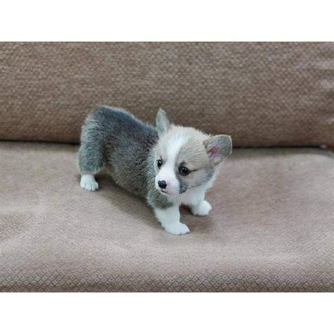 corgi puppies for sale in ohio 629 best corgis images on baby puppies corgis and adorable animals