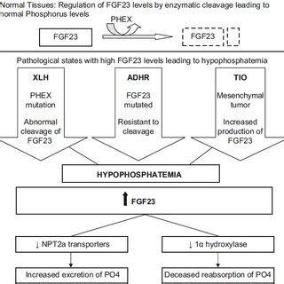 etiology and biochemistry of hypophosphatemic rickets