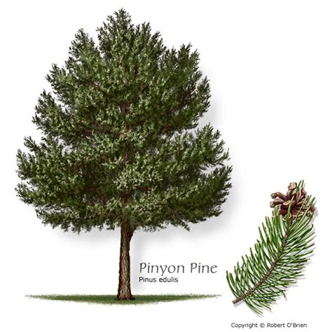 pinyon pine slow growing native often used as a living