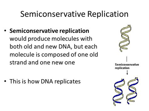 semiconservative replication involves a template what is the template what stage of mitosis meiosis does dna replicate ppt