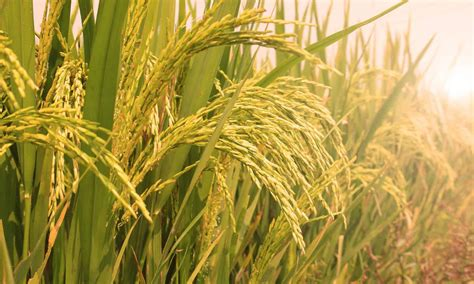 system  rice intensifications role  hunger