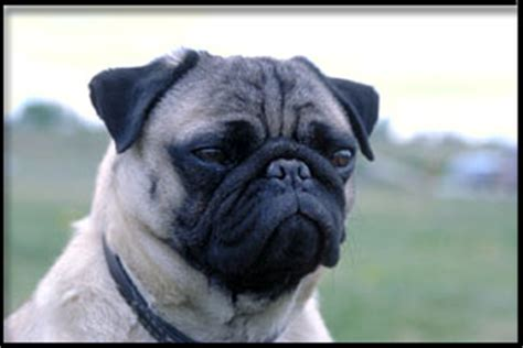 canadian pug breeders pug canada s guide to dogs