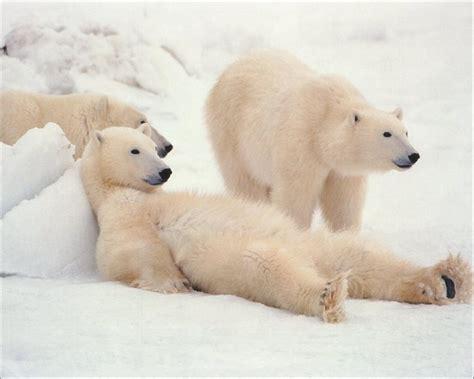 Bears White the white animals returned