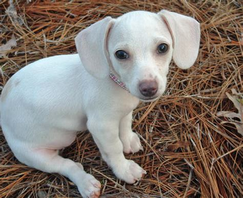 dachshund puppies for sale in new braunfels dachshund