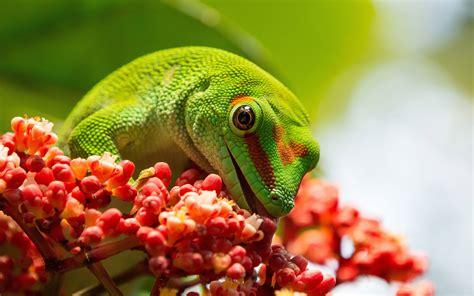 reptile phelsuma grandis lizards   group pelsuma