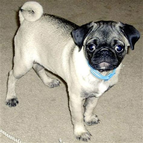 mops pug rescue adoption pug breeds encyclopedia dogs in depth
