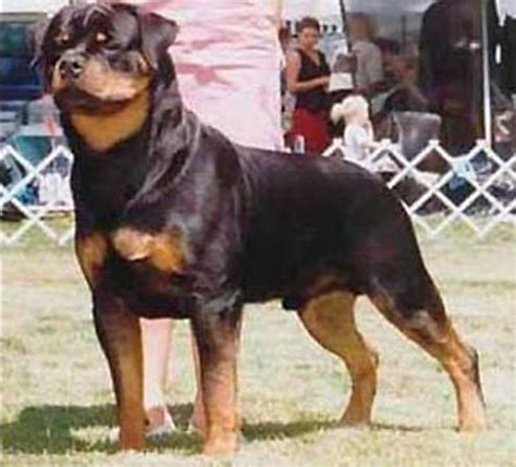 are there different types of rottweilers small breeds pictures different types of breeds akc breeds picture