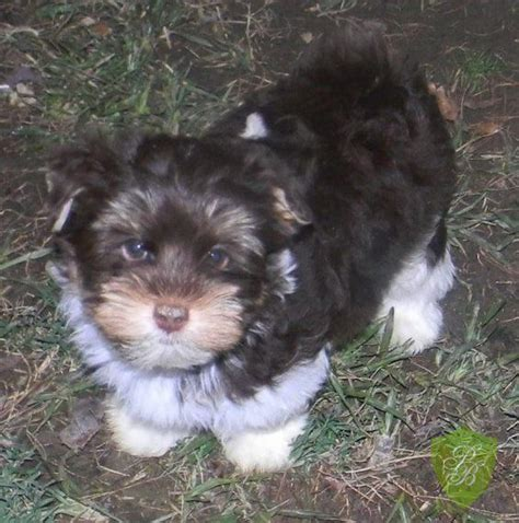 carolina yorkie breeders puppies for sale colorado yorkie breeders my puppies