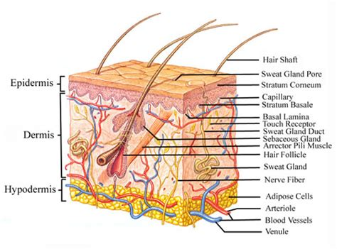 Vertical Section Of Human Skin by Intro To Anatomy 7 The Integumentary System Freethought