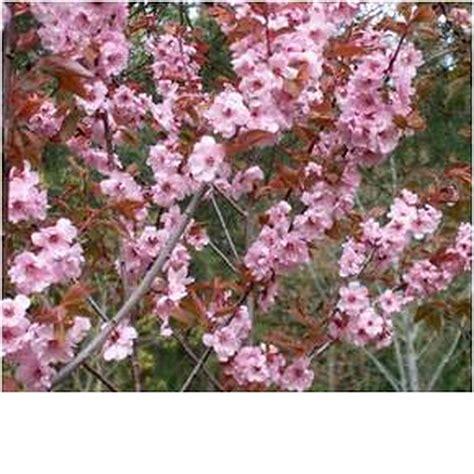 flowering plum blireana deciduous trees mature perth wa