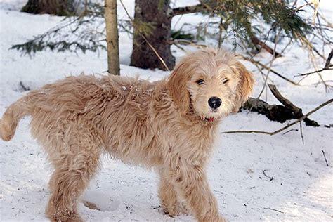 mini doodle hund goldendoodle doodle hund doodle hunderassen