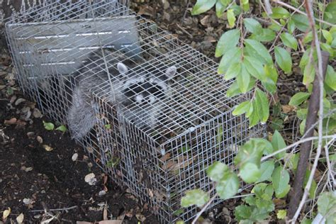 how to catch a raccoon in my backyard here s a quick way to catch a raccoon stacey gustafson