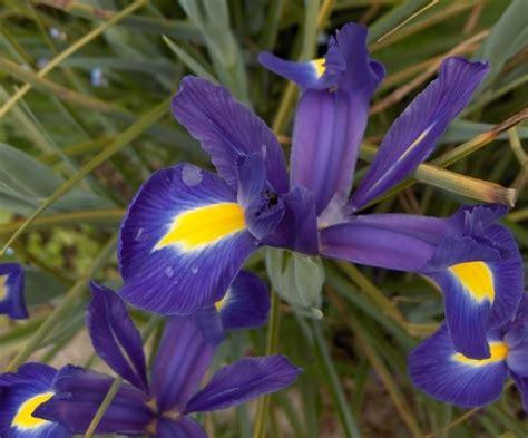 iris fiore iris hollandica iris hollandica bulbi iris
