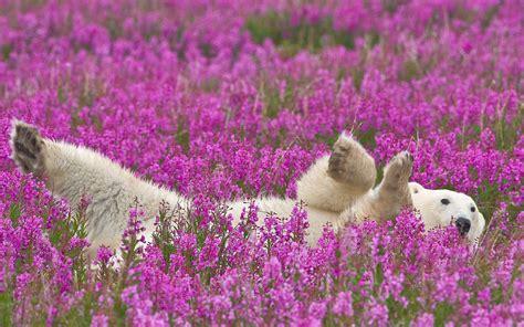 winter bloemen australie animals polar bears flowers wallpapers hd desktop and