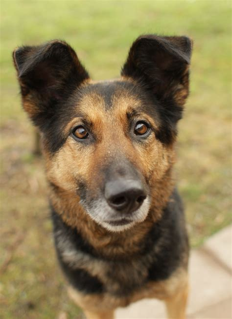 german shepherd mix 1 1 13 2 1 13