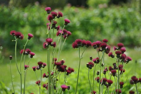 favorites garden friendly thistles gardenista