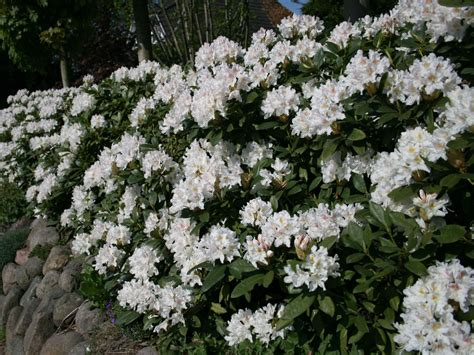 Rhododendron Flachwurzler by Rhododendron Cunningham S White Rhododendron Hybride