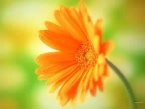Beautiful Orange Orange Flowers Wallpaper Hd Pictures One Hd Wallpaper