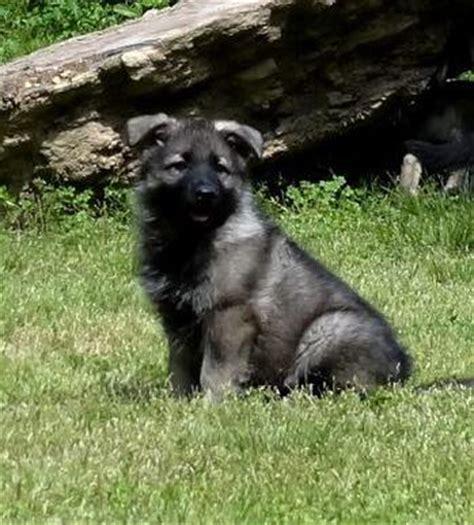 raising german shepherd puppies warfenburg longhair german shepherd breeder