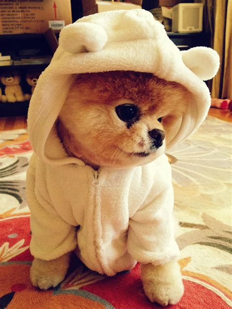 pomeranian boo boo the most in the world therichest